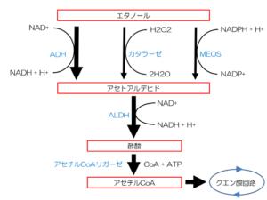 エタノール(アルコール)代謝